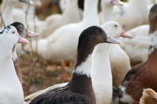 Rôti de canard