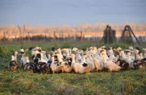 Canard des Landes