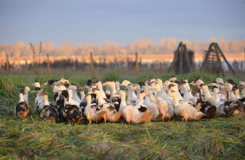 Canard Gras des Landes pour la production de Foie Gras