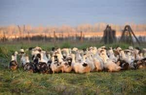 Canard fermier des Landes
